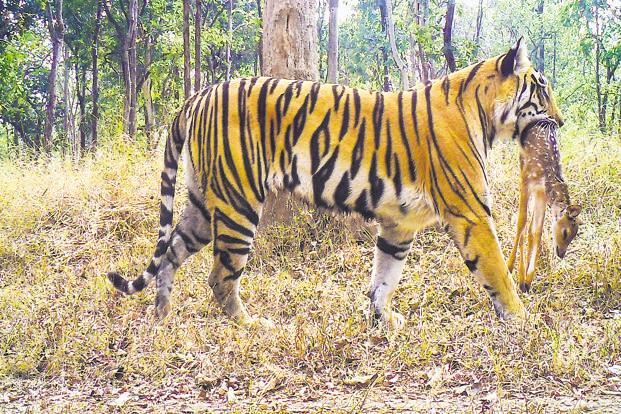 According to the last nationwide count in 2014, there are likely to be about 43 tigers (from a range 35-49) in Pench, which has one of the largest prey bases among all tiger reserves. Photo: Pench Tiger Reserve