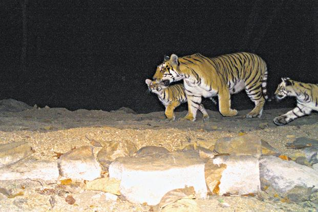 According to NTCA, except from Sunderbans in West Bengal, all field data are to come in by August-September and by the end of the first quarter of 2019, the ministry will publish the final results. Photo: Pench Tiger Reserve
