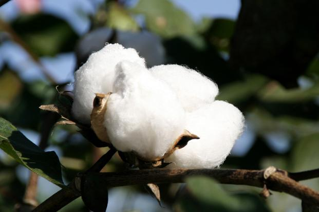 Govt cuts Bt cotton seed price to Rs 740/packet