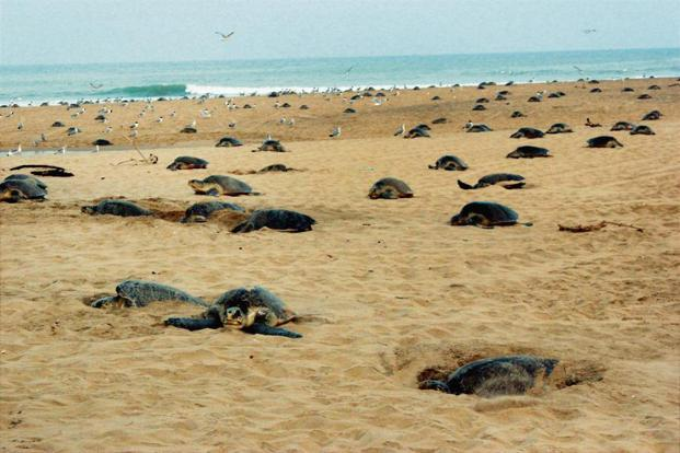 Olive Ridley turtles nest at the beach near the Rushikulya river mouth, Odisha. Photo: PTI