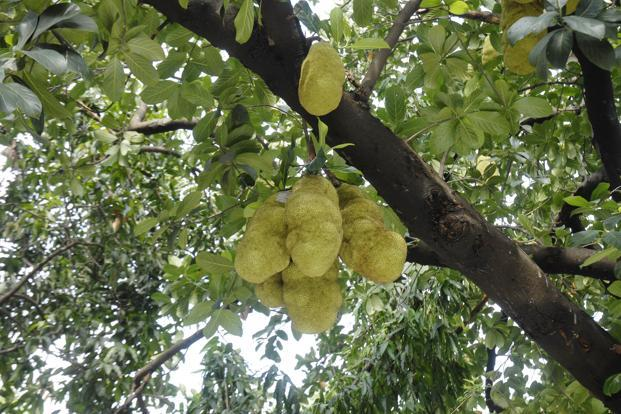 The Kerala government expects a total revenue of Rs15,000 crore through sale of jackfruit and its allied products by branding of the fruit. Photo: HT