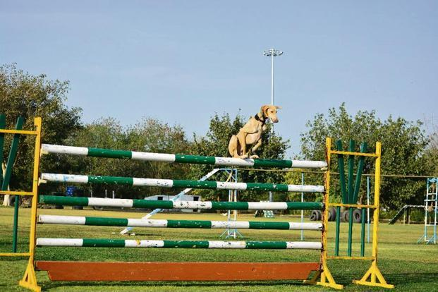 Mudhol Hound being trained. Photo: RVC