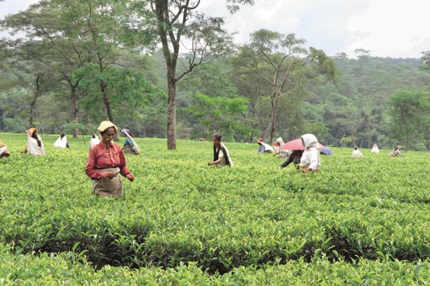 Workers pluck tea leaves at a garden in West Bengal's Darjeeling district. Along with its overseas arms, McLeod Russel currently owns 63 tea estates, and in fiscal 2016-17 produced 115 million kg of tea. Photo: Indranil Bhoumik/Mint