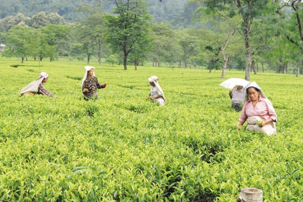 McLeod Russel is looking to liquidate some of its plantations in Assam to service its debt. Photo: Indranil Bhoumik/Mint