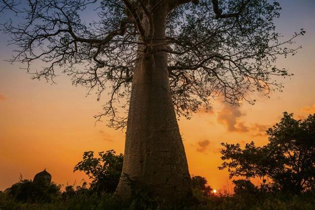 A baobab tree. Photo: Getty Images