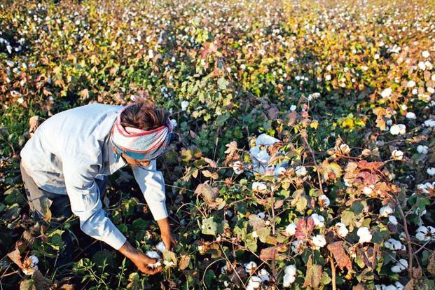 Using HT cotton seeds, farmers can spray herbicides like glyphosate which kills the weed but not the cotton plant which is genetically tolerant to chemical sprays. Photo: Bloomberg.