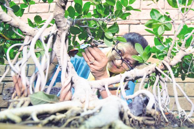 Renu Vaish pruning a bonsai in her garden. Photo: Ramesh Pathania/Mint