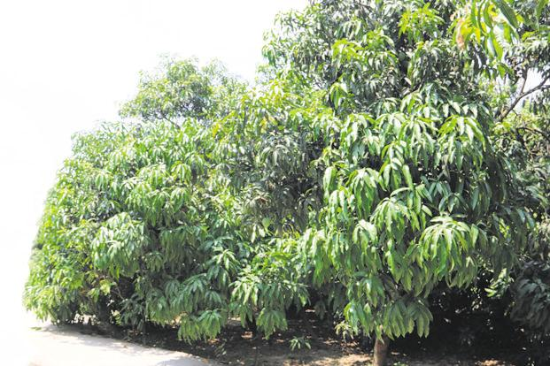 The famous tree in Malihabad with 300 varieties of mangoes. Photo courtesy: Abhinav Singh