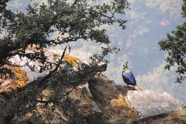 A Himalayan Monal . Photo: Pritha Dey