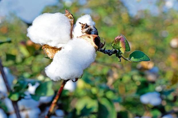 India dismisses US' notification that it has breached cotton MPS