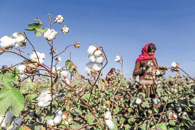 Monsanto's Bollgard-II Bt cotton seed technology, a GM variant, resists the bollworm pest. Photo: Bloomberg